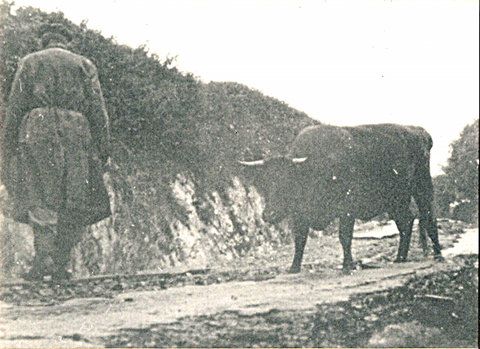 Charley Zealley then landlord of the Ring O' Bells, leading his cow down what is left of the road just above the pub.